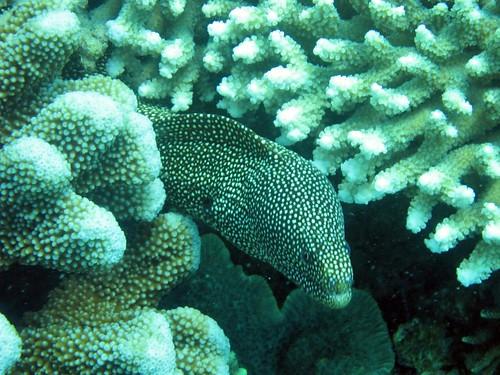 Nha Trang - Diving Hon Mun - Moray Eel