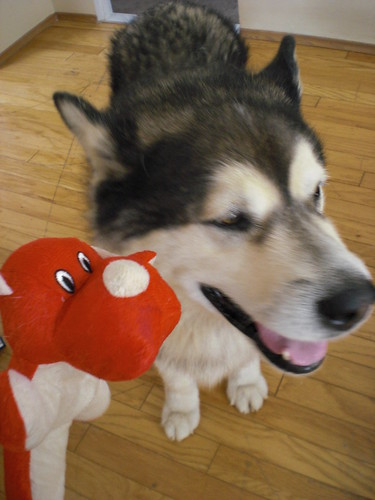 Thor with stuffed dog