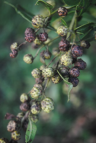 Purple and green textured Buttonwood seeds are ripening