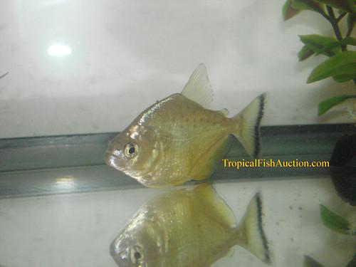 Gold Piranha (Serrasalmus spilopleura)