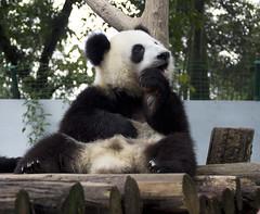 Happy Cubbie (bow'tai'ed) Tags: china pandas taishan bifengxia