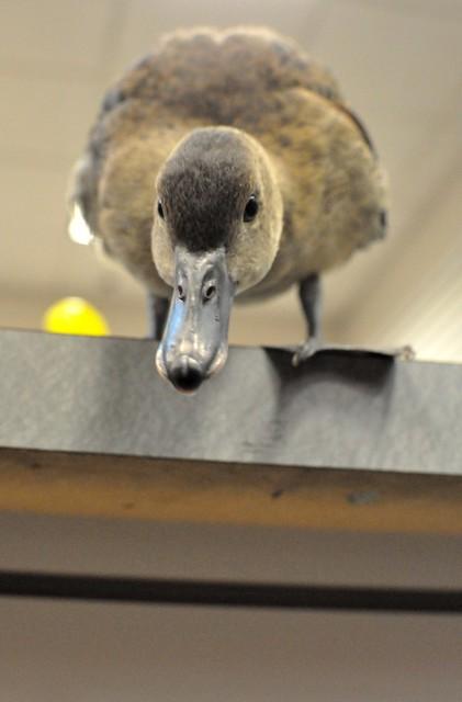 Pet Store Duckling