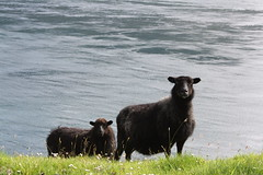 Faroe Island / Kallsoy (Vrdis Sandoy Photography) Tags: black sheep faroeislands blacksheep froyar kalsoy seyur kallsoy