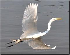 A garça que voa livre... (Parte 2) ... (Marina Linhares) Tags: bird heron nature animal flying nikon natureza pássaro ave garça voando d3000 dblringexcellence tplringexcellence