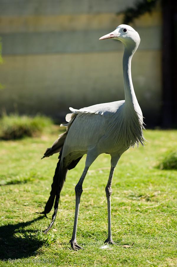 RYALE_African_Dawn_Birds_50