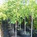 Nuttall Oak #15