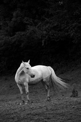 Caballo blanco / White horse (Jose.Rubio) Tags: bw horse byn caballo francia loh aquitaine d80 joserubio