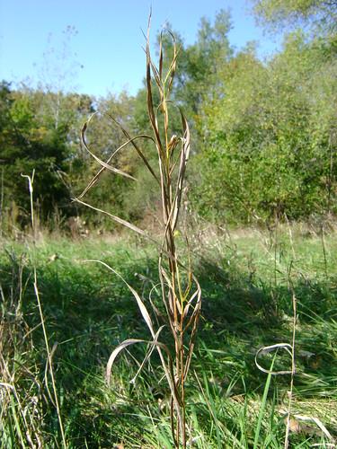 Browning Grass