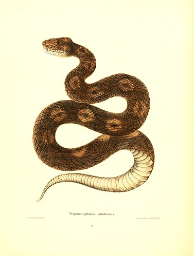 017-Trigonocephals atrofuscus-North American herpetology…1842-Joh Edwards Holbrook