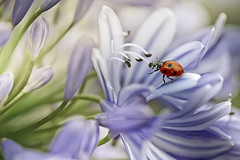 coccinellidae | La romance de l'Agapanthe (cliccath) Tags: macro ode beetle romance ladybird ladybug agapanthus coccinelle macrophotography coleoptera coccinellidae coccinellaseptempunctata agapanthe macrophotographie agapanthaceae canoneos5dmarkii canonef100mmf28macrousmlens cliccath ~explore~ cathschneider coléoptère