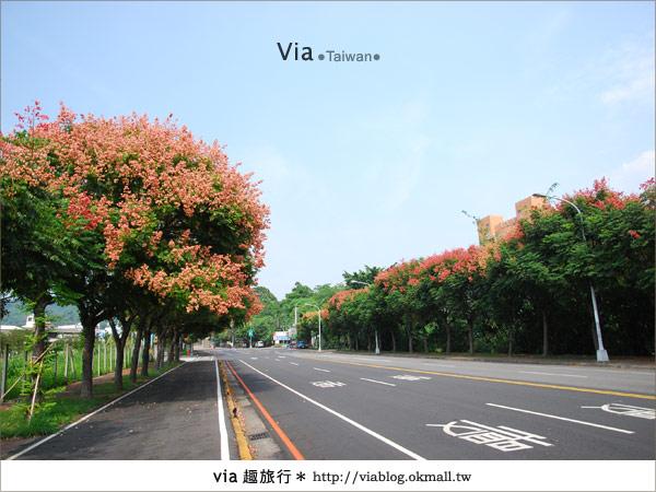 【台中】台灣秋天最美的街道!台中大坑發現美麗的台灣欒樹10