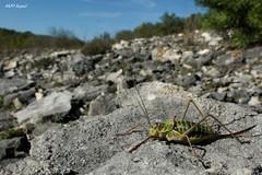 Ephippiger ephippiger, Dordogne (MP7Aquit) Tags: macro nature animal insect wildlife sony sigma 24 alpha 18 animaux orthoptera insecte invertebrate 550 lebensraum invertebrado orthoptre orthoptere invertbr ephippigre