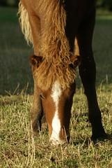 Gleipnir (Jaedde & Sis) Tags: thumbsup stallion icelandic foal 3waywinner gleipnir pregamewinner