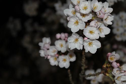 夜桜に近づいてみた