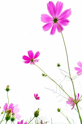 フリー写真素材, 花・植物, キク科, コスモス・秋桜, ピンク色の花,