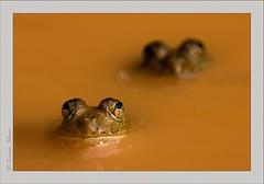 Frog army (Canon_Vision) Tags: water frog swamp karnataka westernghats sahyadri canon400d canonef100mmf28usmlens kiransham