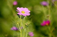 Untitled 1316 (NYCandre) Tags: summer flower wishes wildflower cosmos cosmosbipinnatus 100400l bipinnatus mg1316