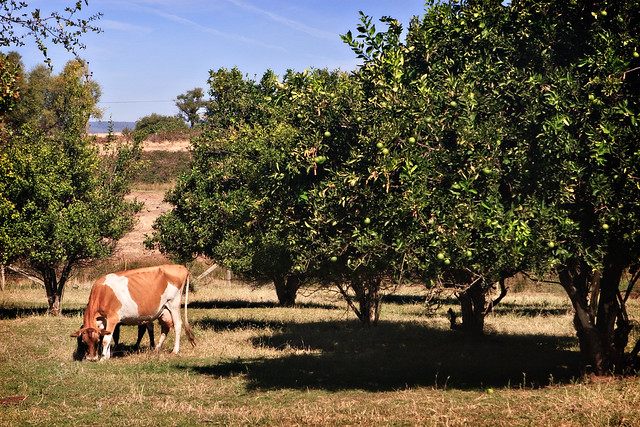 Grazing in the Orchard