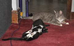 Nimbus watching the kittens (cox-on-the-box - art, clay, cats, veg) Tags: catsandkittens catnipaddicts