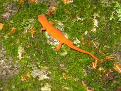Orange Salamander (RafaelRodrigues) Tags: park new orange green rock moss state nh franconia hampshire salamander lincoln gorge flume notch