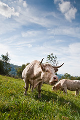Portraits Vaches made in Cantal-40