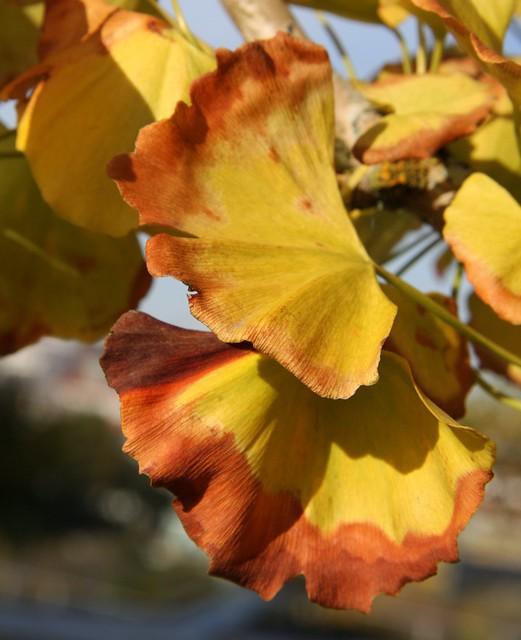 Ginkgo en outono