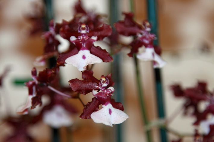 101410_orchid02