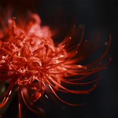 (studiofirststage) Tags: flowers flower macro 120 6x6 japan square bronica brownie fukushima iwaki velvia50   yumoto  sqai  ps80