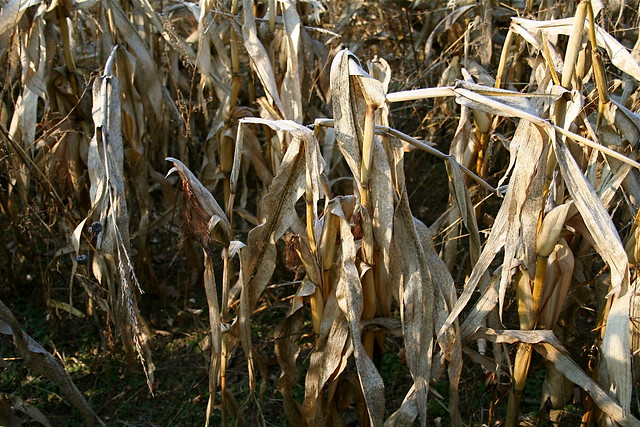 Corn Field in December: Harvest Time