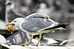 0775-Banquete en la basura (Eduardo Arias Rábanos) Tags: food animals sex fauna trash cutout nude nikon seagull comida sexo galicia galiza basura animales gaviota lousy desnudo desaturadoparcial eduardoarias eduardoariasrábanos