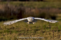 Snowy owl (nyctea scandiaca) (Philpick Productions) Tags: uk bird birds snowy wildlife owl british debbie nigel owls picknell philpickproductions