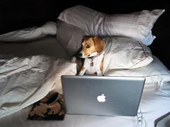 Mac Genius (s.yume) Tags: dog pet beagle canine