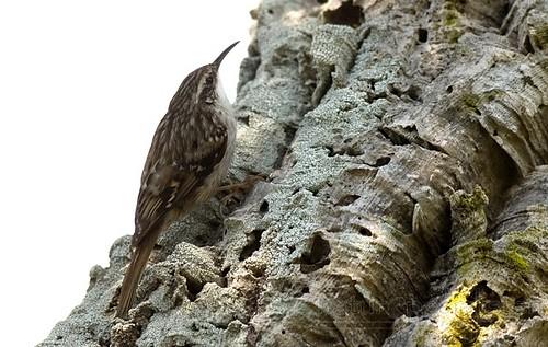 īspirkstu mizložņa (Certhia brachydactyla)
