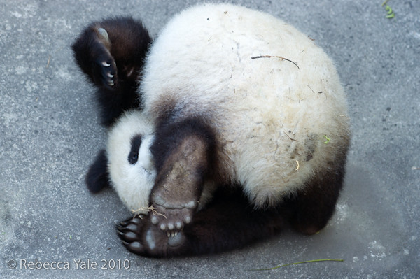RYALE_Panda_Bears_33