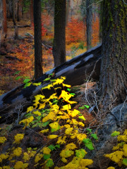 A Forest Painting (pendeho) Tags: fallcolors olympus yosemite zuiko