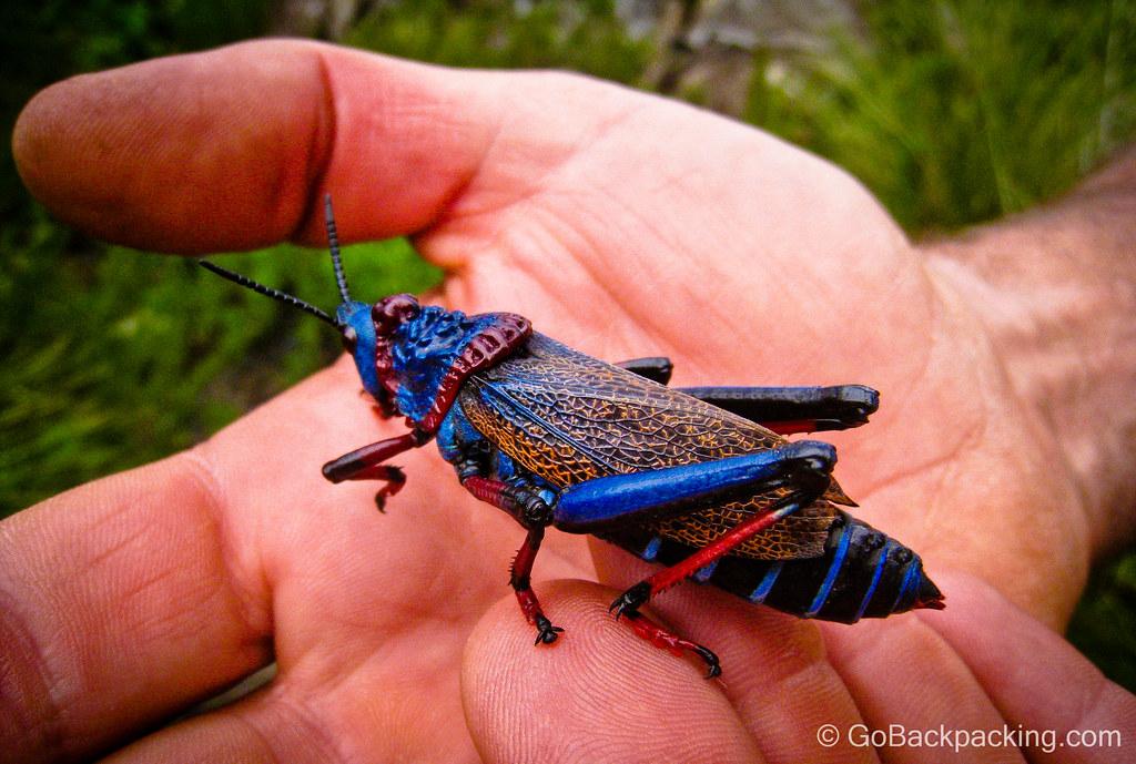 Koppie Foam Grasshopper (Dictyophorus spumans) - South Africa