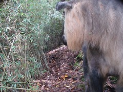 Takin (eMammal) Tags: takin wolong budorcastaxicolor taxonomy:common=takin sequence:index=1 sequence:length=1 otherhoovedmammals taxonomy:group=otherhoovedmammals siwild:study=wolongcameratrapsurvey siwild:studyId=wolongbaitedsets geo:locality=china siwild:plot=wolong siwild:location=lwwl08878a siwild:camDeploy=chinadeploy193 geo:lon=30882 geo:lat=103195 siwild:trigger=wwl08878a01016 siwild:imageid=wwl08878a01016 sequence:id=wwl08878a01016 file:name=wwl08878a01016jpg taxonomy:species=budorcastaxicolor siwild:date=200810191336000 sequence:key=1 siwild:region=china BR:batch=sla0620101119044543 siwild:species=12 file:path=dchinachinacameraimagedigitalafter2008wolongnaturereservewwl08878a01wwl08878a01016jpg