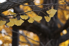 Ginkgo leaves in a row