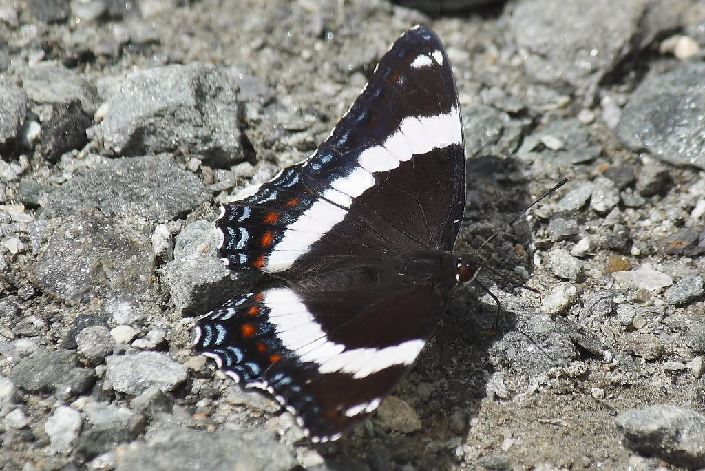 White admiral butterfly (6)