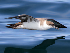 Great Shearwater, Scilly pelagic, 8-Aug-10 (Dave Appleton) Tags: great shearwater gravis puffinus puffinusgravis greatshearwater ardennagravis