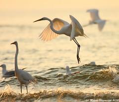 Egrets at sunset (v4vodka) Tags: sunset red bird heron nature animal silhouette evening wildlife longisland egret birdwatching greategret birdwatcher ardeaalba czapla westmeadowbeach amazingwildlifephotography