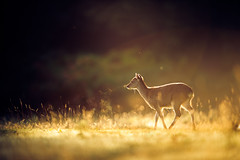 where angels touch (andrew evans.) Tags: lighting morning autumn light england sun mist nature misty fog fairytale forest sunrise golden countryside kent woods nikon bokeh wildlife calm deer ethereal flare sunrays wonderland storybook magical f28 enchanted d3 400mm