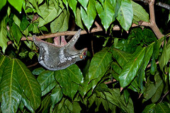 colugo flying lemur IMG_5203 copy