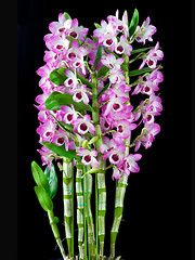 Dendrobium orchid 'Sweet Candy' (Paul in Japan) Tags: pink orchid flower flora candy sweet dendrobium hybrid nobile