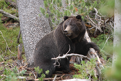 Female Black Grizzly Bear (Ursus arctos horribilis)
