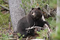 Female Black Grizzly Bear (Ursus arctos horribilis)