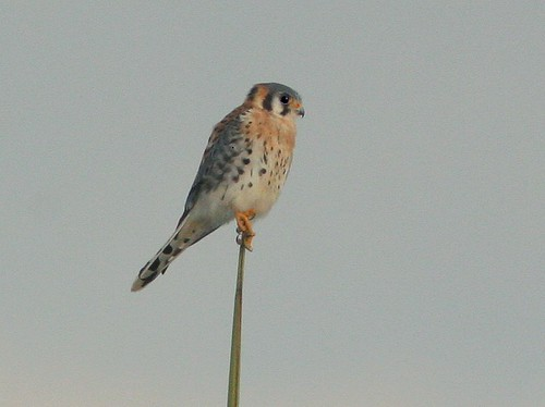 American Kestrel Edited 20101126