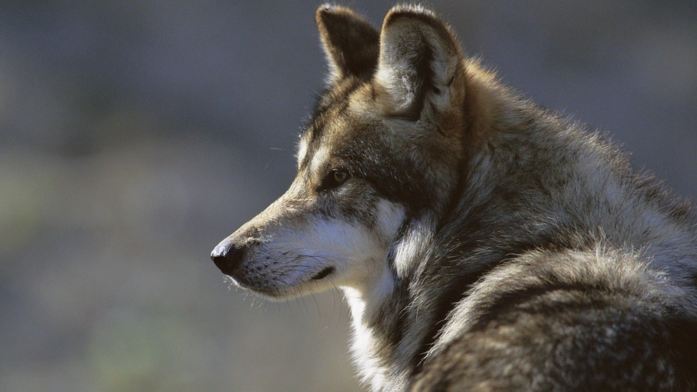 Wildlife: Mexican wolves at US-Mexican Wall
