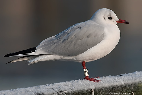 Black-headed Gull, adult, W[TC69]