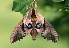 Blinded Sphynx Moth (DrPhotoMoto) Tags: northcarolina sphingidae picnik richmondcounty paoniasexcaecatus blindedsphynxmoth anawesomeshot sphingidaemundi paoniasexcaecata